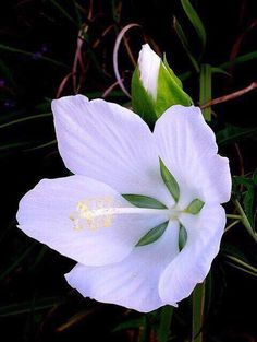 Beautiful White Hibiscus, tropical-looking blossoms growing atop lush green foliage! Rare Flowers, Exotic Flowers, Amazing Flowers, White Flowers, Beautiful Flowers, Yellow Roses, Fresh Flowers, Purple Flowers, Simply Beautiful