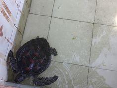 Tartaruga di acqua, vasca naturale, zoo chiamati piscina, animali in cattività, troppo turismo. Zanzibar