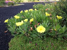 Evening Primrose, Oneothera missouriensis is a low growing, high moisture content and drought tolerant perennial.