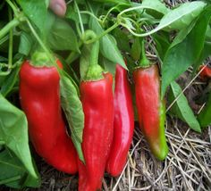 Corno di toro rosso, Baker Creek again for 2014. Ours never ripened to red in MI, though. Long 8-inch tapered, bull-horn shaped, red peppers are sweet and spicy. They are great fresh or roasted. Large plants yield well. Among the best peppers you can grow and so delicious. Pure Italian seed. Great for market growers and home gardeners alike.