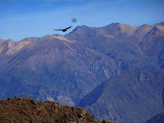 Pérou - Le Canyon de Colca posté dans Péroupar picsandtrips Condors, colibris, vigognes, alpagas, lamas et… amiba ! Dates du séjour : du 12 au 13 juin 2014