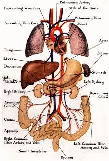 Human Body Picture Of Organs . Human Body Picture Of Organs Human Anatomy Anatomy Organs Body Organs Location Anatomy Organs The Human Body, Human Body Organs, Human Body Parts, Human Human, Organs Of The Body, Human Anatomy Chart, Human Anatomy Drawing, Human Body Anatomy, Human Anatomy And Physiology