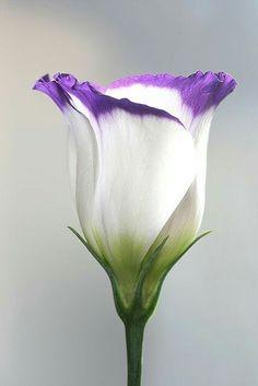 week's lisianthus 1 ~~lisianthus by vernon.hyde~~~~lisianthus by vernon. Exotic Flowers, Amazing Flowers, My Flower, Purple Flowers, White Flowers, Beautiful Flowers, Beautiful Things, Beautiful Pictures, Anemone Flower