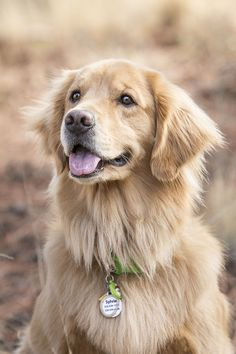 © Tangled Lilac Photography | Golden Retriever, dog photography, gift idea-pet portraits, beautiful dog