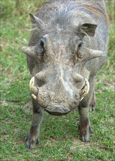 Kenyas Common Warthog