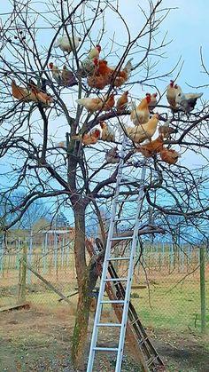 Les poules dans l'arbre- Lucie de Saint Aubin-#Rooster #Roosters