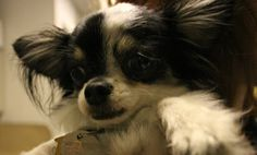 Sonic is a 1-3 years old Long Hair Chihuahua mix who would do well in a family with kids and a big yard to play. Meet him at @North Shore Animal League America