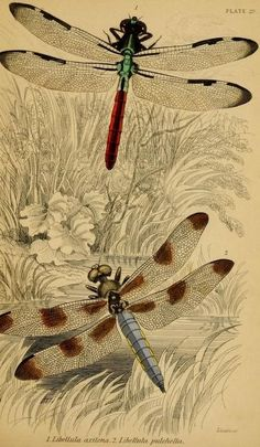 Dragonflies. The Nat