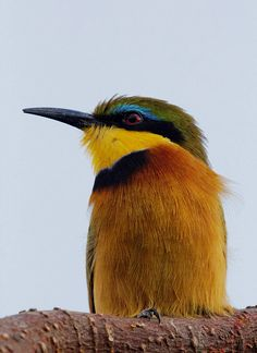 Funny Wildlife, Close-up of a Little Bee Eater, Masai Mara, Kenya...
