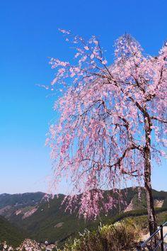 昨日は快晴でほんと桜が綺麗でした♪ @天空の庭高見の郷 #千本の枝垂れ桜