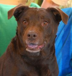 You can certainly see the love in Scarlet's eyes.  She is a sunny, well-behaved girl who perceives the best in people.  Scarlet is great with children and dogs, plus housetrained too.  She is a medium-size Chocolate Labrador Retriever mix, about 7 years of age, spayed, and ready for adoption at Nevada SPCA (www.nevadaspca.org).