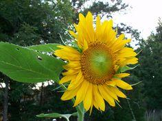 Sunflower in my yard