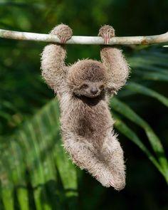 I shall name him Sid. #PuraVida #costarica #Sloth