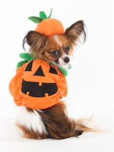 Perfect Pose! #eBay #Halloween #Pet #Pet costume #Dog Costume #Cute #budgettravel #halloween