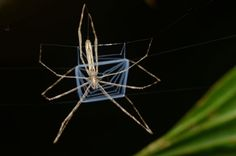 The Ogre-Faced Spider Throws A Net Over Its Prey Like A Gladiator