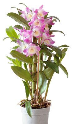 Само название рода Дендробиум говорит о том, что эти орхидеи живут на деревьях, некоторые свешиваются с них и растут «вверх ногами». Дендробиумы широко распространены в Азии, Австралии, Новой Зеландии и на островах Индийского и Тихого океанов; северной границей распространения является Япония.