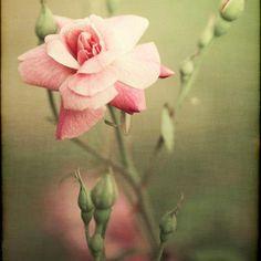 rose, beautiful rose ...