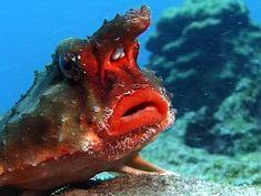 red lipped batfish...lol