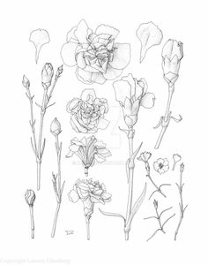 Carnation (Dianthus caryophyllus) buds, flowers, and stems, of various sizes. Includes a few partial dissections and several flowers and stems of pinks (Dianthus spp.). This was my first pen and in...