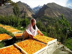 "The apricots are precious wealth for the people of this area"", says Sher Ghazi, Director of Mountain Fruits Company (MFC). For more post like our page: Northern Areas of Pakistan Beautiful World, Beautiful Places, Fruit Company, Hunza Valley, Pakistan Zindabad, Food Club, What The World, Grand Tour, Beautiful Buildings"
