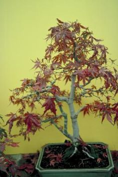 When to Fertilize Japanese Maples | Japanese maple trees (Acer palmatum) fulfill many roles in the garden. Some have a dwarf growth habit and make attractive bonsai trees, while others add beauty and shade as full-sized trees. These ...