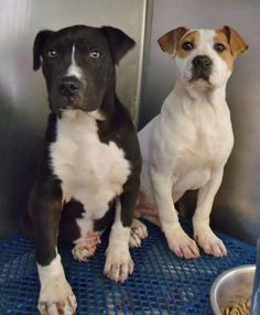 [[Columbia, KY]] 2 ADORABLE PUPPIES IN NEED OF RESCUE/HOMES [[SHARE]]  Pit Bull mixes. 3 months old. came in as strays on 3/7. Both are very sweet!!!   @ Green River Animal Shelter 270-385-9655 or gras@windstream.net  https://www.facebook.com/photo.php?fbid=591327734213735=t.1250658655=1