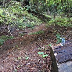 Henry Cowell Fall Creek Unit - @moonmansmistress scouts the trail ahead for opportunity and danger. #CannabisKeepsMeActive #SpringGel #MoonMansMistress #SantaCruz #Cannabis #TrailRunning #UltraRunning #Adventureprenure #HighAdventure #PaddleLife #TrainingMatters #NectarStick #RunSteepGetHigh #RunSlowGetFast #MAF #FallCreek