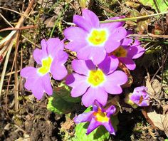 Header Favicon blühende Primeln. #edgarten #gartenblog #primel Header, Winter, Plants, Lilac, Natural Garden, February, Shade Perennials, Card Crafts, Winter Time
