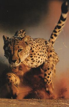 *cheetah in action