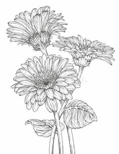 Illustration about Hand drawn ink illustration of three Gerbera Daisy flowers. Illustration of fashion, flower, element - 99635662 Flower Line Drawings, Flower Drawing Tutorials, Flower Sketches, Art Tutorials, Art Sketches, Art Drawings, Flower Drawing Images, Drawing Flowers, Daisy Drawing