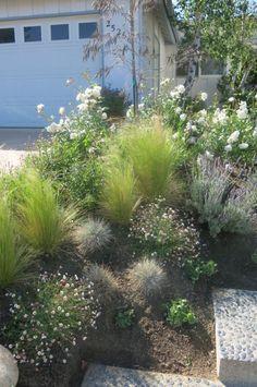 Xeriscaping idea - Olive trees, grasses, lavender, white Iceberg shrub roses, Penstemon and other perennials.