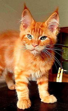Gorgeous orange tabby kitten. Cool Cat Trees, Cool Cats, Cats And Kittens, Tabby Cats, Red Cat, Cat Names, Cute Animals, Orange, Animals