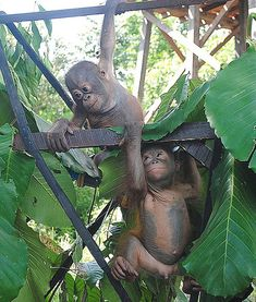 Freedom: The Chief Executive of the charity that rescued Budi hopes his new-found friendship with Jemmi gets them both used to orangutans so they can hopefully be released into the wild some day