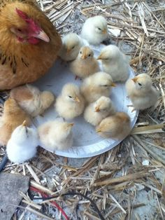 Momma hen and her baby chicks