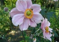 Høstanemonen, Anemone hupehensis, er en af efterårshavens smukke stauder.