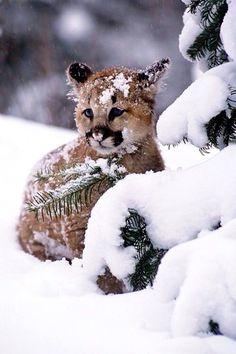 Mountain Lion kitty