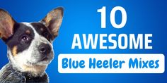 Looking for a Blue Heeler mix breed? Read our Blue Heeler mix breed dog profile guide first, for vital info on facts and characteristics of this type of dog. The post Blue Heeler Mix Breed Pictures, Characteristics, & Facts appeared first on CanineWeekly.com.