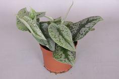 Scindapsus pictus 'Trebie' – Urban Plant Life Hanging Plants, Indoor Plants, Go Browns, Foliage Plants, Bright Lights, Flourish, Planter Pots, Urban, Life