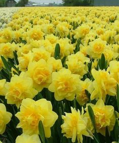 Narcissus Sherborne - Double Narcissi - Narcissi - Flower Bulb Index Yellow Flowers, Spring Flowers, Beautiful Flowers, Narcissus Bulbs, Daffodil Flower, Spring Bulbs, Bulb Flowers, Types Of Flowers, Mellow Yellow