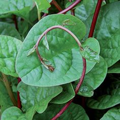 malibar spinach Tropical heat-loving vine from India. Not a true spinach, but similar in flavor and usage. Free-branching climber with red leaf veins and stems. Will regrow rapidly if sprouts are cut to eat as greens. Pinch tips to encourage branching. Stems can be cut and rooted. 50-70 days.