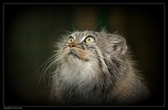 Pallas Cat - Look into my eyes... by Ania Jones on 500px