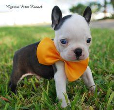 Boston puppy - cute!!!! I want!!