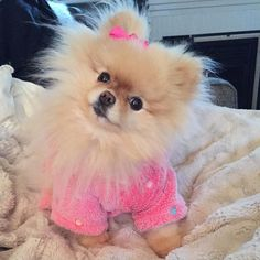 Inquisitive by nature and cute in size, Pomeranians are a true 'toy dog.' Pomeranians are perky and friendly and if you are thinking about getting a puppy Cute Puppies, Cute Dogs, Dogs And Puppies, Toy Dogs, Doggies, Pomeranian Puppy, Yorkie, Chihuahua, Baby Animals