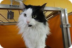 Elyria, OH - Norwegian Forest Cat. Meet Thompson, a cat for adoption.      Breed: Norwegian Forest Cat     Color: Black & White Or Tuxedo     Age: Adult     Sex: Male     ID#: 15C12089R     Hair: Long http://www.adoptapet.com/pet/15165777-elyria-ohio-cat