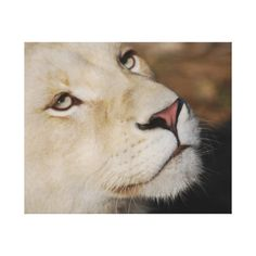 A gentle lion square tile Mountain Lion, Canvas Art Prints, Animal Kingdom, Lions, Wrapped Canvas, Christmas Ornaments, Metal, Animals, Celebration