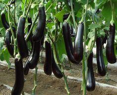 Как вырастить хороший урожай баклажанов
