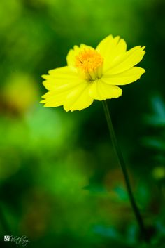 Cosmos - Image & Photo by Hung Ho from Garden flowers - Photography (30963608) | fotocommunity