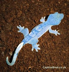 Blue Crested Gecko. No freakin way!! This has to be photo-shopped!?! If not I so want one for a project! So GORGEOUS!