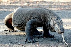TouristLink features 8 photos of Komodo Adventure 4 Days. Pictures are of Komodo Dragon, Rinca And Komodo Island and 6 more. See pictures of Komodo Adventure 4 Days submited by other travelers or add Komodo Dragon Pictures, Poisonous Animals, Large Lizards, Komodo National Park, Monitor Lizard, Komodo Island, Reptiles And Amphibians, All Gods Creatures, Animals Of The World