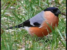 Eurasian Bullfinch (Pyrrhula pyrrhula) by Siga Birds 2, Love Birds, Beautiful Birds, Life Is Beautiful, Pet Birds, Cool Bird Houses, Bird Gif, Bullfinch, Brazilian Embroidery